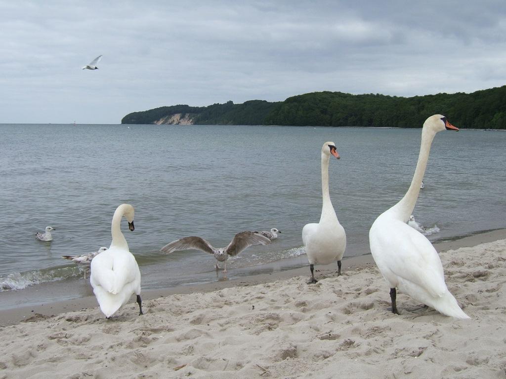Insel Rügen - Urlaub im Ferienhaus, Ferienwohnung, Urlaub in Strandvillen in Binz und Sellin - Schwäne an Binzer Ostseestrand